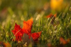Fallen Red Leaf (James.Baron) Tags: fall autumn fallinpa pafallfoliage foliage nature pittsburghnaturephotography