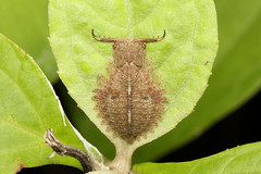 Neuroptera (Owlfly sp. larvae) - Costa Rica (Nick Dean1) Tags: neuroptera owlfly animalia arthropoda arthropod insect insecta hexapoda hexapod costarica guanacaste lakearenal