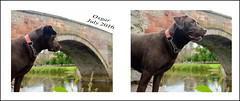 duck, swan, duck (Seònaid) Tags: osgar dog chocolatelabrador nungatebridge haddington historicburgh rivertyne ducks swans river nikon d600 dubhard summer petportrait diptych