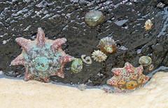 Sea Stars 002 (DMT@YLOR) Tags: greenmount star seastar shells seashells beach sand newsouthwales australia fingalheads six limpet eight multicolour starfish