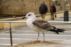 GAVIOTA CALETERA (bacasr) Tags: cdiz andaluca espaa spain gaviota seagull bird ave animal costa seaside