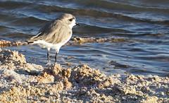 Puna Plover (Med Gull) Tags: zegrahm chile peru cruise expedition wildlife southamerica atacama sanpedrodeatacama lakechaxa lake salt saltpan puna plover punaplover