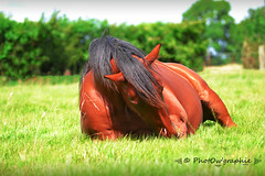 Olympe (PhotOw'graphie) Tags: cheval horse couch vert herbe sol pature nature animal
