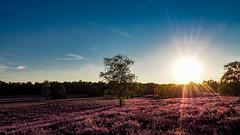 high coloured heather (tholiefot) Tags: heath sunrise evening sunbeams clouds tree heide sonnenuntergang wolken light licht olympus