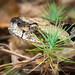 Timber Rattlesnake (Southern)-5684-Edit.jpg