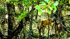 Assiniboine Park - September 14, 2016 15-43-04 (DerboPhoto) Tags: assiniboinepark deer doe beautiful 204 winnipeg manitoba canada derbophoto forest