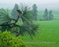 Palouse Rain (jamesdelbertanderson) Tags: whitmancounty kamiakbutte palouse easternwashington washington pnw countryside inlandnorthwest