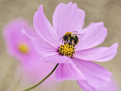 The Bee and the Cosmos (johnroberts676) Tags: bee closeup cosmos d800 nikon flower flora macro irishsea outdoor