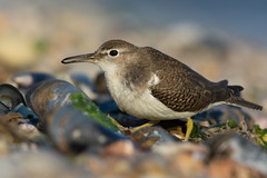 """""""Beachcomber"""" (Spotted Sandpiper) (Jesse_in_CT) Tags: spottedsandpiper nikon200500mm"""