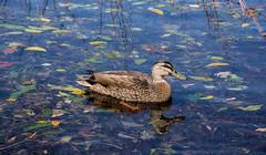 Colourful Spring Swim (Kiwi-Steve) Tags: nz newzealand northisland laketarawera bayofplenty duck leaf colour color nature nikon nikond7200 colourful leaves lake reflection