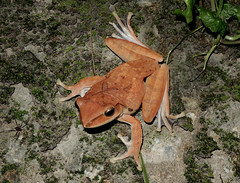 Brown Tree Frog (Polypedates megacephalus) (cowyeow) Tags: hongkong herpetology herp herps herping china chinese asia asian nature tai lam 大欖 frog frogs amphibian cute resting brown treefrog browntreefrog polypedates megacephalus polypedatesmegacephalus