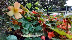 Trailing Begonia (Apricot & Salmon pink) on balcony railings (Close up) 21st September 2016 013 (D@viD_2.011) Tags: trailing begonia apricot salmon pink balcony railings close up 21st september 2016