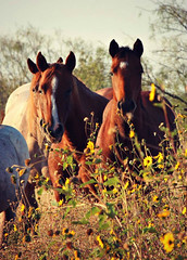 Indian Summer (It Feels Like Rain) Tags: fillies colts horses horse equine americanquarterhorseassociation aqha indiansummer texas texasranches westtexas ranch ranching caballo yearlingfillies yearlings filly colt
