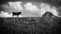 Interrogation spirituelle (fafisavoie) Tags: vache lac soleil alpes samsung monochrome creatif