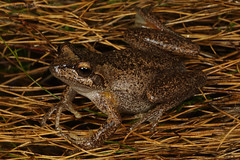 Heath frog (Litoria littlejohni) (Jordan Mulder) Tags: heath frog litoria littlejohni wildlife amphibian