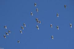 Chasing the egrets (Siminis) Tags: siminis heraklio crete greece egrets herons egret heron egrettagarzetta inflight flight