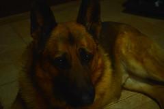 DSC_1046 (PaloSalvatore) Tags: argentina buenosaires pilar dog perro germanshepard ovejeroaleman animal mascota pet love amor loyalfriend amigofiel loyal fiel