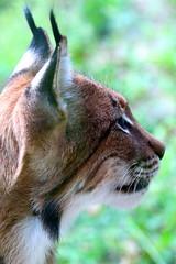16924 (41) (picardi.giuseppe) Tags: felini felino lince zoo