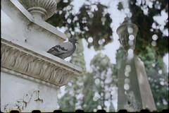 Scan-160921-0002 (Fred.Erik) Tags: fed 1 jupiter 8 50mm 502 f2 dove graveyard bird bokeh lightleak film ltm m39 lisbon lisboa travel portugal