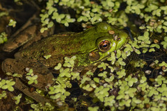 Hiding in Maine (Ken Krach Photography) Tags: maine frog
