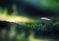 Summer Sporeling (MaaykeKlaver) Tags: mushroom sporeling summer forest tree trunk light green yellow tiny small macro fungi moss fairy fairytale