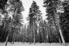 Mänty's forest (RoryO'Bryen) Tags: copyrightroryobryen finland scandinavia forest bosque roryobryen rangefinder leicam6 ilfordfp4 iso125 messsucher