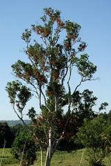 Stenocarpus sinuatus (dustaway) Tags: flowers plants nature habit australia nsw trunk form branching proteaceae northernrivers stenocarpus wheeloffire australiantrees arfp stenocarpussinuatus firewheeltree australianrainforesttrees nswrfp qrfp redarfflowers subtropicalarf