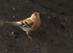Brambling (f) [Explored] (bojangles_1953) Tags: bird fairburn brambling