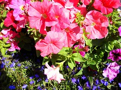 Fulsome floral fantasy. (davidezartz) Tags: uk greatbritain pink flowers blue light red england brown white black macro green floral leaves sunshine yellow closeup scarlet grey us petals nikon thought colours shadows purple maps fantasy petunia existence cooley claret solanaceae s4000 thegalaxy nikonstunninggallery fulsome masoncooley flowersarebeautiful originalthought mimamorflowers aphorist however~itsstillmylife bealivebetopbeseven mygearandme nikons4000 nikoncoolpixs4000 flickrstruereflectionlevel1 rememberthatmomentlevel1 fulsomefloralfantasy 19272002