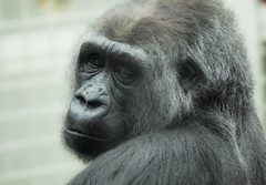 Gorilla animal by @Doug88888, on Flickr