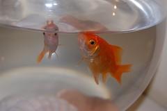 Pesciulini (Agathae) Tags: occhi pesci acqua rossi animali boccia