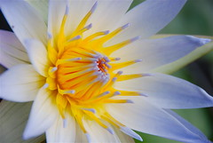 Sweet memories of Waterlilies! (ineedathis) Tags: macro nature beauty yellow petals pond waterlily exotic watergarden stamen tropical nymphaea lightblue charlesthomas nikond80