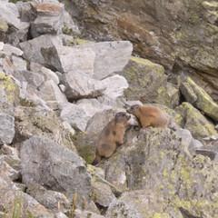 Marmots (Galtr - W7) (Jackie & Dennis) Tags: marmot marmots galtr