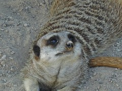 Do I still look cute with dirt on my nose? (mikecogh) Tags: cute nose zoo meerkat dirt adelaide