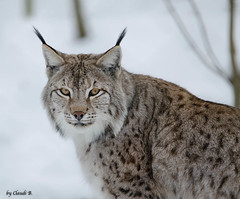 Luchs (ClaudiB.) Tags: schnee winter ngc npc hellenthal luchs digitalcameraclub specanimal 100commentgroup hairygitselite