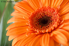 Gerbera 053 copy (Tess Mc Kenna Home) Tags: flowers orange flower macro nature gardens closeup botanical blossom cannon gerbra mixedlocations