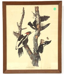 "80. after Audubon, ""Long Billed Woodpecker"""