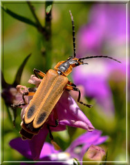 Soldier Beetle In Technicolor (vidterry) Tags: iso800 beetle photomix soldierbeetle ev23 tamron180mmmacro wbsun nikond7000 photographyforrecreation bestevercompetitiongroup bestevergoldenartists 11600thf9 multipointaf