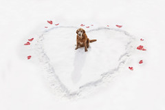 Be My Kirb-entine - 6/52 (miss_n_arrow) Tags: winter red dog white snow cold wrapping paper hearts golden kirby day heart bright canine valentine retriever fresh valentines weeks 52 52weeksfordogs
