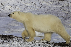 "Polar Bear in Churchill along the Hudson Bay. • <a style=""font-size:0.8em;"" href=""http://www.flickr.com/photos/92120860@N06/8454774528/"" target=""_blank"">View on Flickr</a>"