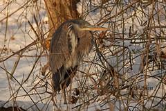 """In Hiding""_IMG_9440mec-20L (Joyce_E_Landean (Trying to get back at it)) Tags: light snow de blueheron hiding bushes greatblueheron bombayhook 2013"