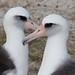 Laysan Albatross |  CBC Midway | 2012-12-19at17-26-51