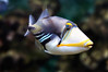 Trigger happy (Rhinecanthus aculeatus) (Clearvisions) Tags: picasso picaso blackbar aculeatus rhinecanthus mygearandme mygearandmepremium mygearandmebronze mygearandmesilver tonycward tcwimages ttriggerfish
