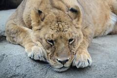 The Lion Queen (Giopuppy) Tags: park parco animal animals japan zoo nikon feline no january lion felino  leone lioness mori giappone animali animale  gennaio  kouen  kyuushuu   leonessa   2013   itouzu   d3100 nikond3100   kitakyuushu itouzunomorikouen