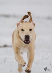 17 (phoenic) Tags: dog dogs photo labrador foto fotografie photos retriever hund fotos labradorretriever hunde bilder phtos welpe welpen dogphotos dunde hundefotos dogphoto hundebilder hundefoto hundefotografie