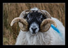 Ram at Siabost (Travels with a dog and a Camera :)) Tags: portrait digital photoshop ed march scotland sheep pentax unitedkingdom lewis western outer ram smc isle westernisles 2009 isles km 43 isleoflewis hebrides lightroom outerhebrides cs6 k2000 siabost pentaxkm pentaxda f458 justpentax 55300mm smcpentaxda55300mmf458ed photoshopcs6 lightroom43