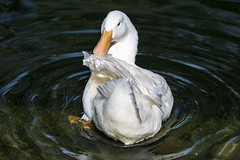 Swirling Duck (Bridgeport Mike) Tags: white bird nature water duck wildlife feathers swirl 5l0c6391