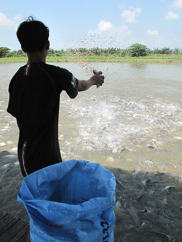 Scattering pellets into pond to feed catfish in An Giang Province, Vietnam. Photo by Kam Suan Pheng, 2011.