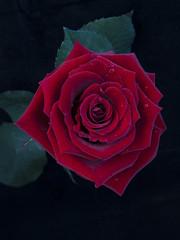 rose2 (Giuseppe Baldan) Tags:
