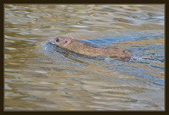 Brown Rat (Full Moon Images) Tags: brown nature animal swimming mammal rodent rat wildlife thetford